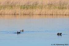 Eurasian Coots and female Common Pochard