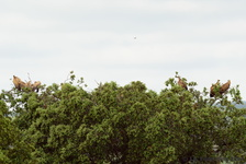 Griffon Vulture (and Hoopoe)