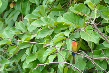 Red-Troated Bee-eater