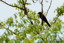 Red-Shouldered Cuckooshrike