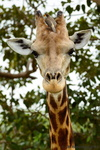West African Giraffe with Yellow-Billed Oxpecker