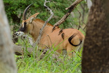 Roan Antelope with Yellow-Billed Oxpeckers