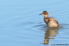 Female Common Pochard