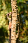 Black-Tailed Marmoset
