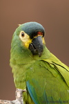 Blue-Winged Macaw