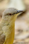 Cattle Tyrant