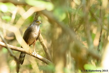 Rufous-Thighed Hawk
