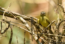 Yellow-Olive Flatbill