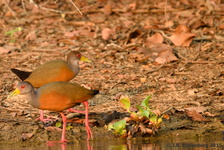 Gray-Necked Wood Rail