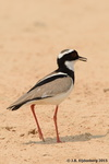 Pied Plover