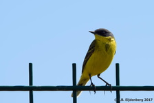 Dark-Headed Wagtail