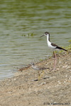 Black-Necked Stilt and Solitary Sandpiper