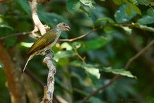Spotted Honeyguide
