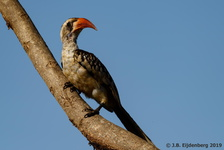 Western Red-Billed Hornbill