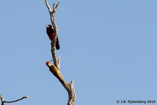 African Grey Woodpecker and Bearded Barbet