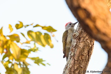 African Grey Woodpecker