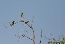 White-Throated Bee-Eater and European Bee-Eater