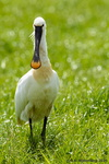 Common Spoonbill